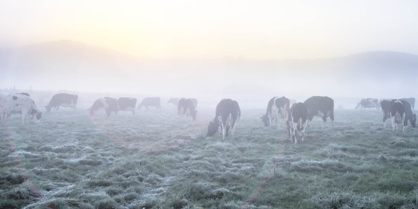 Cows on pasture early in the morning